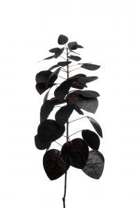 Mr Plant Cotinus - - 60 cm