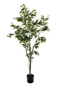 Mr Plant F. Benjamin - - 180 cm - www.frokenfraken.se