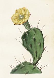 Poster - Vintage - Kaktus Gul - 35x50 cm - www.frokenfraken.se