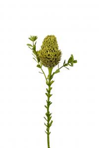 Banksia - Grön - 52 cm - www.frokenfraken.se