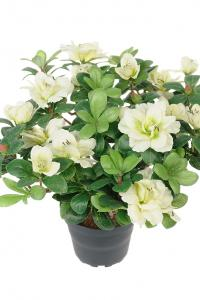 Mr Plant Azalea - Vit - 25 cm