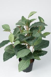 Fittonia - Grön - 40 cm - www.frokenfraken.se