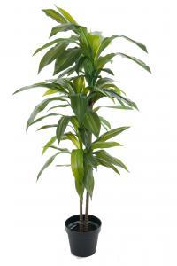 Mr Plant Dracena - - 100 cm