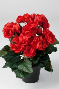 Begonia - Röd - 28 cm - www.frokenfraken.se
