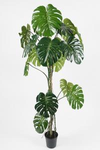 Mr Plant Monstera - - 180 cm