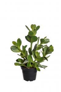 Mr Plant Crassula - Grön - 23 cm