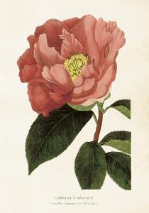 Poster - Vintage - Kamelia - 35x50 cm - www.frokenfraken.se