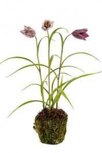Frittilaria - Lila - Konstväxt - 25 cm