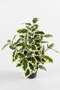 Mr Plant Fikus Varigata - Grön - 40 cm