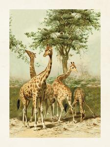 Poster - Vintage - Giraffer - 18 x 24 cm - www.frokenfraken.se