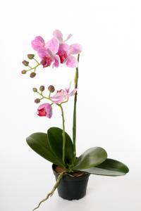 Phalaenopsis - Lila - 45 cm - www.frokenfraken.se