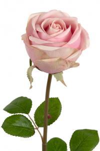Mr Plant Ros - Ljusrosa långskaftad sidenros - 75 cm
