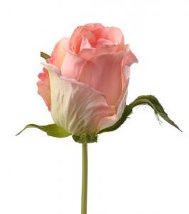 Mr Plant Ros - Rosa knoppig sidenros - 25 cm