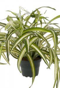 Mr Plant Ampellilja - Konstgjord naturtrogen - 35 x 45 cm