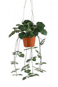 Mr Plant Saxifraga - Grön - 35 cm