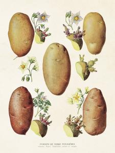 Poster - Vintage - Potatis - 18 x 24 cm - www.frokenfraken.se