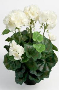 Mr Plant Pelargon - Vit - 35 cm