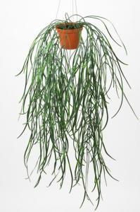 Ampelväxt - Hoya - 60 cm - www.frokenfraken.se