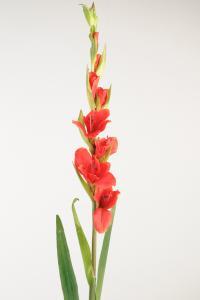 Gladiolus - Röd - 100 cm - www.frokenfraken.se