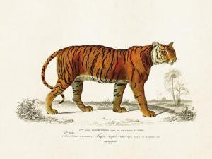 Poster - Vintage - Tiger - 18x24 cm - www.frokenfraken.se