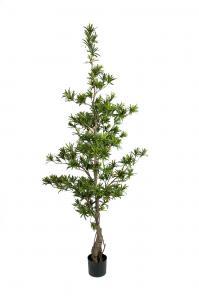 Podocarpus - - 180 cm - www.frokenfraken.se