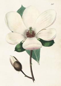 Poster - Magnolia - 50x70 cm - www.frokenfraken.se
