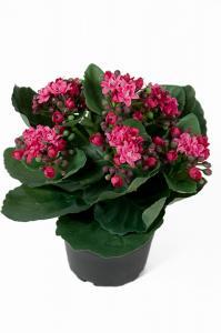 Mr Plant Kalanchoe - Lila - 20 cm - www.frokenfraken.se