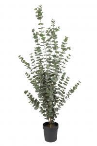 Eucalyptus - - 170 cm - www.frokenfraken.se