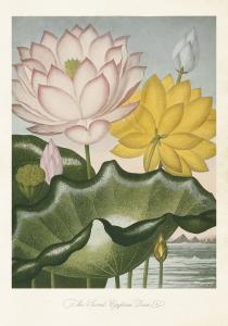 Poster - Vintage - Indisk lotus - 35x50 cm - www.frokenfraken.se