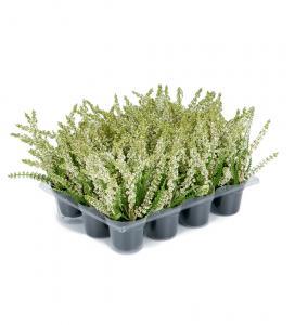 Mr Plant Ljung Vit - Konstväxt - 18 cm - 1 st