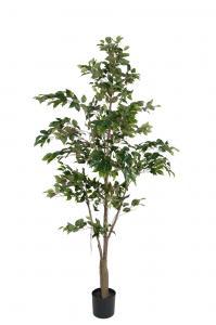 Mr Plant F. Benjamin - - 210 cm - www.frokenfraken.se