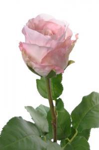 Ros - Ljusrosa långskaftad sidenros - 65 cm - www.frokenfraken.se