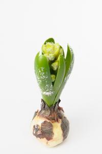 Mr Plant Hyacint - Vit med snö