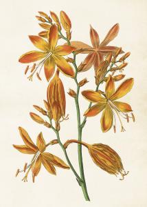 Poster - Vintage - Orange Iris - 50 x 70 cm - www.frokenfraken.se