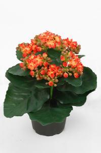 Kalanchoe - Orange - 20 cm - www.frokenfraken.se
