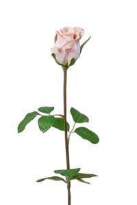 Mr Plant Ros - Cremerosa sidenros - 50 cm
