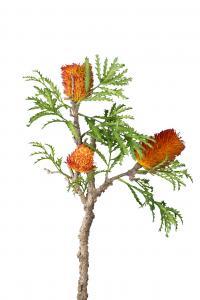 Banksia - Orange - 85 cm - www.frokenfraken.se