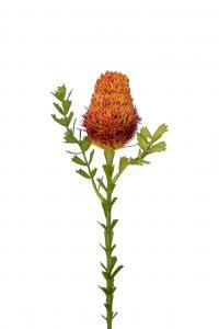 Banksia - Orange - 52 cm - www.frokenfraken.se