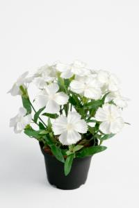 Mr Plant Borstnejlika - Vit - 20 cm - www.frokenfraken.se