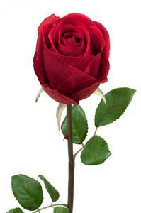 Mr Plant Ros - Röd långskaftad sidenros - 75 cm