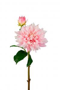 Dahlia - Rosa - 70 cm - www.frokenfraken.se