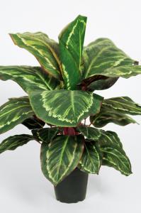 Mr Plant Maranta - Grön - 60 cm