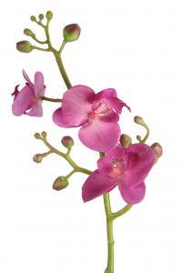 Mr Plant Phalaenopsis - Lila - 50 cm
