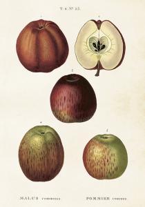 Poster - Vintage - Äpplen - 35x50 cm - www.frokenfraken.se