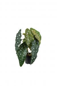Forell Begonia - Grön - 30 cm - www.frokenfraken.se