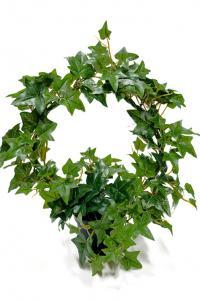 Mr Plant Murgröna på båge - Konstväxt - 35 cm