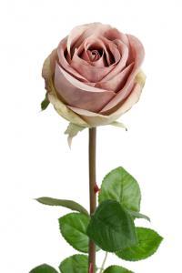 Mr Plant Ros - Smutsrosa långskaftad sidenros - 75 cm