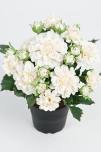 Mr Plant Dahlia - Vit - 25 cm