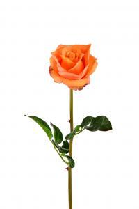 Ros - Orange - 65 cm - www.frokenfraken.se