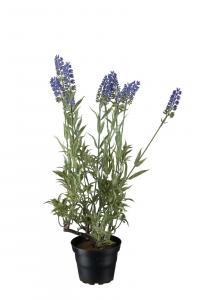 Lavendel - Lila - 45 cm - www.frokenfraken.se